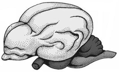Если в процессе эволюции у животного сформировался головной мозг, изображённый на рисунке, то этим животным присущи ...