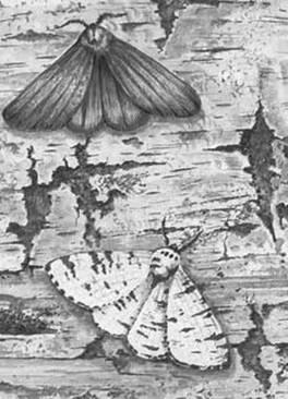 Рассмотрите рисунок с изображением бабочек берёзовой пяденицы и определите тип приспособления, форму естественного отбора и направление эволюции, которые характерны для двух форм бабочек. Для каждой ячейки, обозначенной буквой, выберите соответствующий термин из предложенного списка.